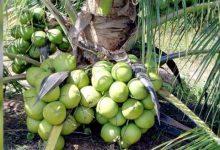 লক্ষ্মীপুরে বছরে ২০০ কোটি টাকার নারিকেল উৎপাদন