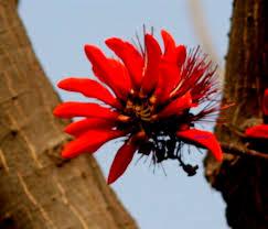 Photo of আমাশয় রোধে কাঁটা মান্দার