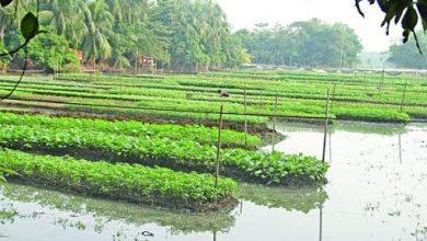 Photo of পিরোজপুরে পানির ওপর সবজি চাষ